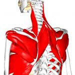 """【肩甲骨周りの筋肉】肩甲骨周りに存在する「17種類」の筋肉の""""つながり""""とは?"""