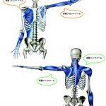 【アームライン】日常生活で必須な「アームライン」の位置と役割:Anatomy Train Arm Line
