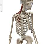 """【オススメの筋肉勉強アプリ】""""ヒューマンアナトミーアトラス2019""""さえあれば、他にはもう何もいらない!?"""