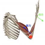 【筋肉:テコの原理①】筋肉に存在する3つのテコとは?